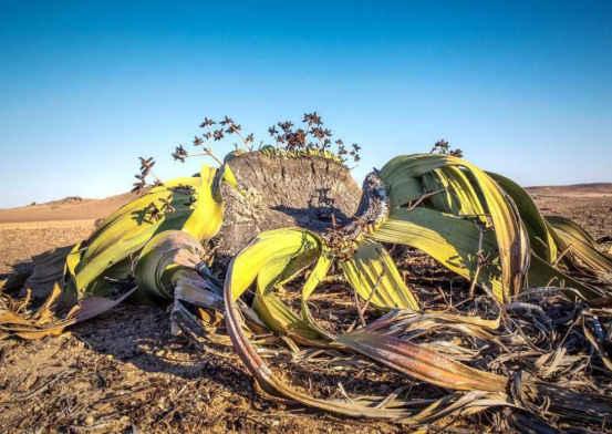 非洲艺术上的千年活化石:是大全界的蜗牛,毒大全沙漠图片植物异类图片图片
