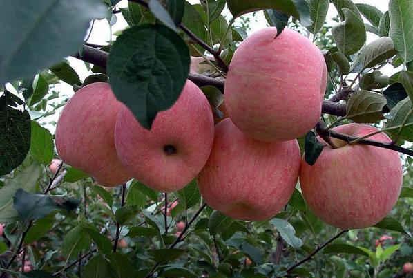 杭芡州猕价搜猕_原创苹果价格上涨,但是种植苹果的果农挣钱了吗?
