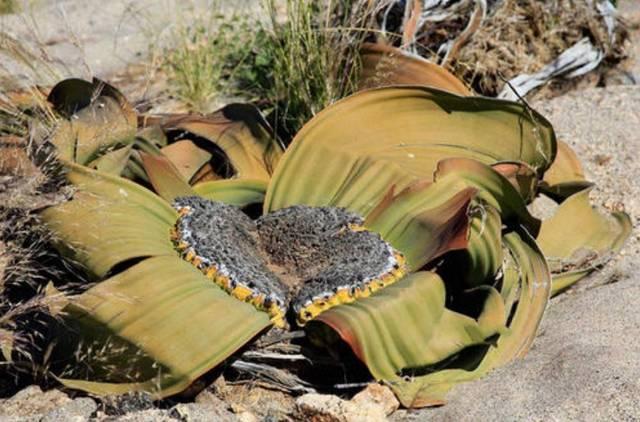 世界上最特别的沙漠叶子,植物长3米宽30厘米,郑希怡和浸浸唱鳄鱼歌图片