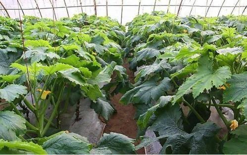 农民种植西葫芦,如何防止西葫芦蔓拔节过高?方法很简单图片