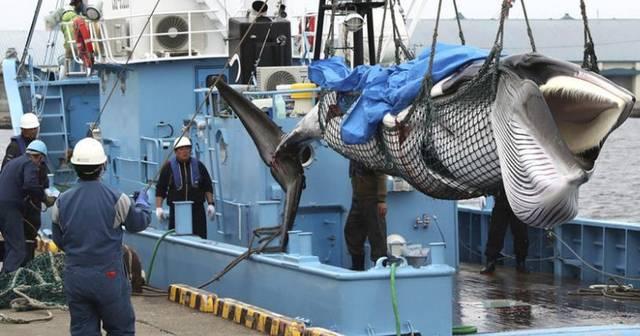 触目惊心!日本商业捕鲸船捕获1430吨鲸肉回港,此前曾打着科研的幌子捕杀