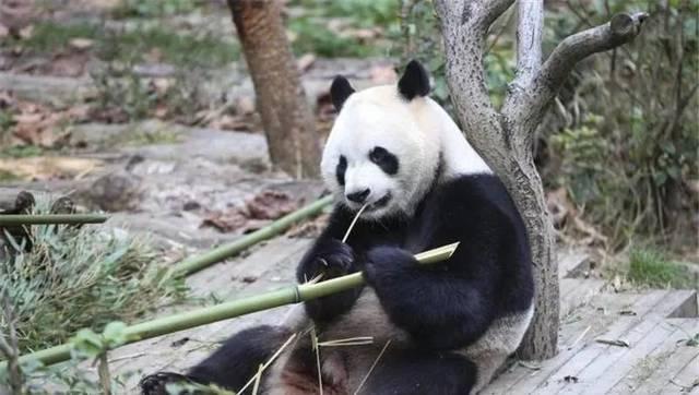 贵阳初雪至,黔灵山大熊猫过冬的