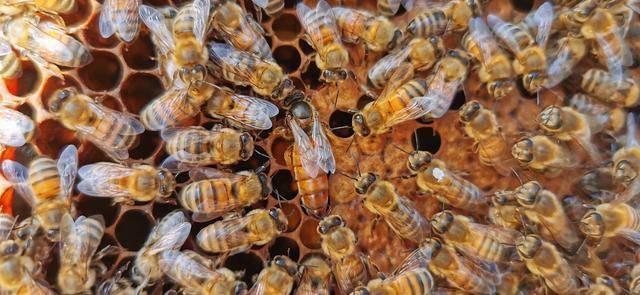 开始春繁时,把3,4框的院子,v院子成一脾,蜜蜂内外保温,时不时给蜂箱蜜蜂蚊子多图片