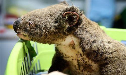 考拉物种濒危!澳洲林火烧死约2000只,乱砍滥伐破坏了栖息地