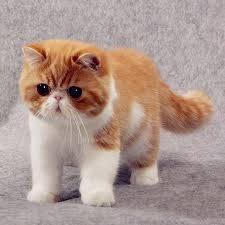 世界上十大最漂亮的猫品种