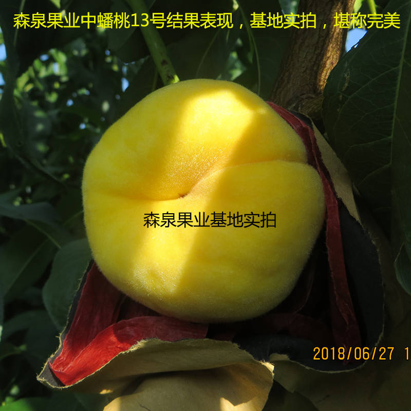 黄金蟠桃树苗品种介绍