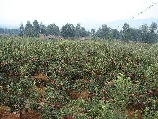 乔化红富士苹果树的三芽修剪法