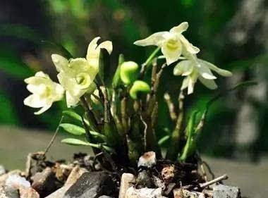 一般来说,市场上常见的石斛鲜花大多开花期在4-7月之间.