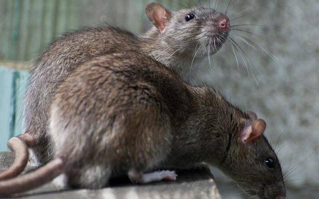 如何防老鼠吃植物 老鼠怕什么植物气味图片