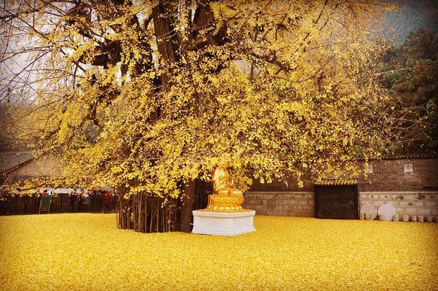 1000多年的银杏树,李世民所栽,不想去合个影吗?