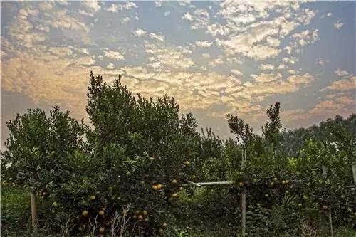 茶坑熊子塔受文昌位影响,茶枝柑蒂有五星称五星柑