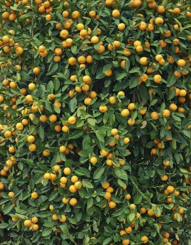 就已掌握了果树嫁接技术——橘树以枳树为砧木嫁接,一旦过了淮河北岸