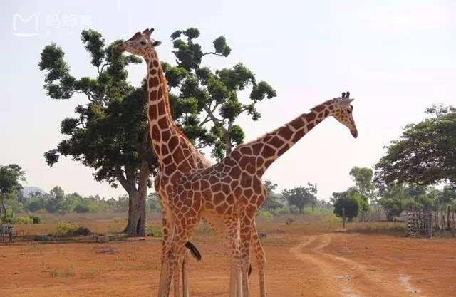 去非洲野生动物园但太远?东南亚野生动物园也不赖