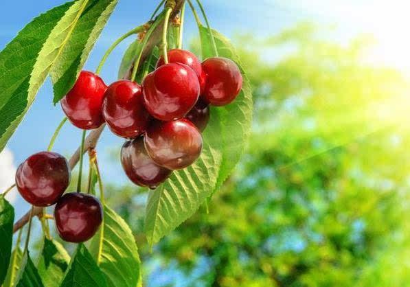 在巴西的东北部的沙地里,有许多种植的和野生的巴西大樱桃树,也有植物