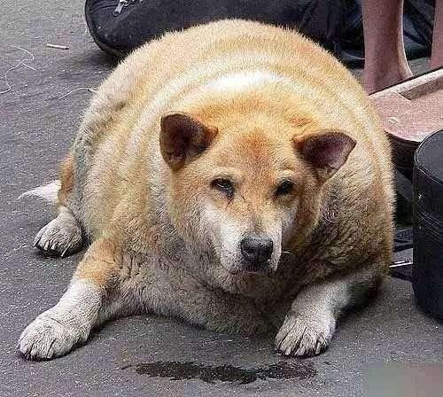 """我们大中华田园犬即使胖成球也是带有""""王霸之气"""""""