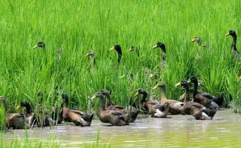 齐梁生态园有一群稻田鸭等你去赶图片