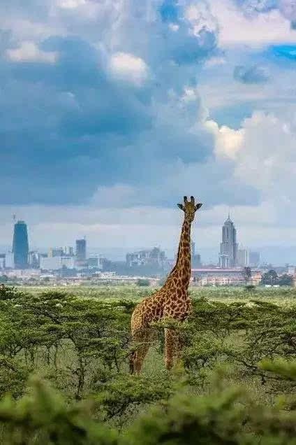 这是非洲的第一个野生动物园,也是世界上唯一位于国家首都的纯粹野生