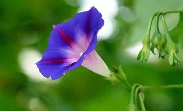 允礼说,这花叫夕颜;其实,是森森的误解啦充教程氦气图片