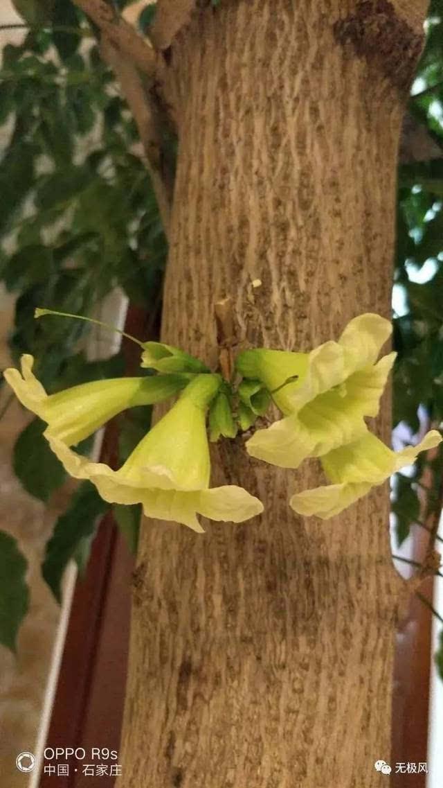 无极北马村一家幸福树开花了!