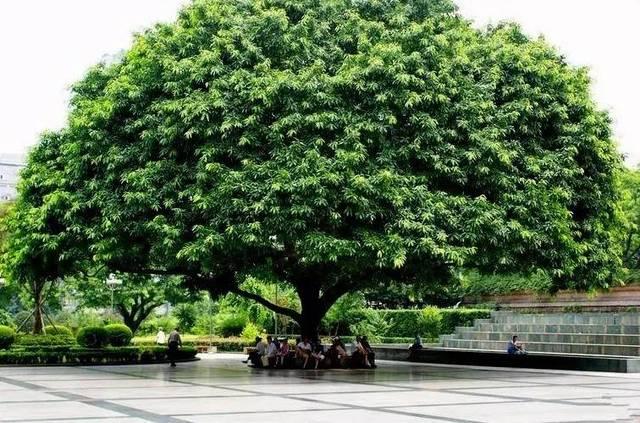 黄葛树 别名黄桷树,大叶榕树,马尾榕,雀树 黄葛树因其树冠大,树叶