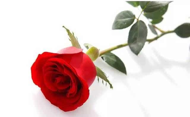 玫瑰花,情侣手绘海报,等你来拿