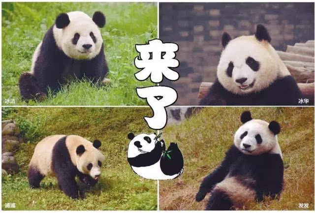 """沈阳森林动物园 正式与沈阳市民见面 此次抵沈的四只熊猫 分别为 """"浦"""