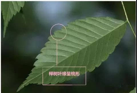 朴树,榉树和榆树有什么区别,有图有真相!图片
