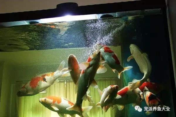 (附:魚缸養錦鯉的6個關鍵)圖片