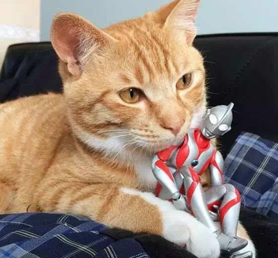 要问橘猫有多胖,放个奥特曼就知道了!