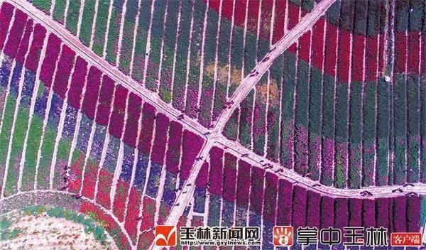 北流市新圩镇梧村狮子峰生态旅游景区内各色花卉盛情开放,花色形成的