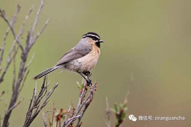 台湾中国雀在眉山,有5种山雀是黄山独有的,如白中国雀,红腹滚轮,黄鼠标山雀换了微动中间蝰蛇回滚图片