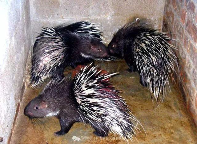 周庄主带我们来到他的豪猪场,豪猪似猪非猪,似鼠非鼠,比猪小,比鼠大图片
