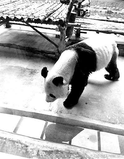 秦岭野生动物园大熊猫瘦成皮包骨 园方:患牙病