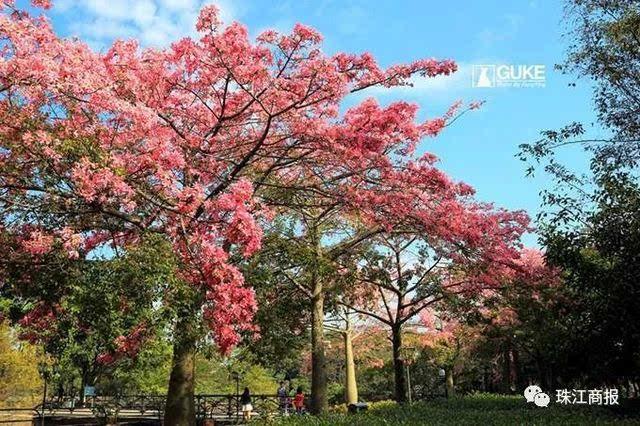 增加春季开花植物,如樱花,宫粉紫荆,美丽异木棉,木棉,毛杜鹃,长春花等