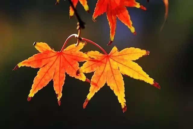 矢量图一枝秋叶