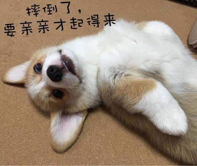 柯基表情包合集:哦哟这里有只单身狗图片