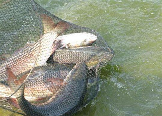 分享两种特效自制野钓鱼饵,让你惊喜不断