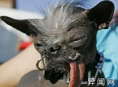 世界上最丑的狗:超级可爱的十大最丑的狗-玩意儿