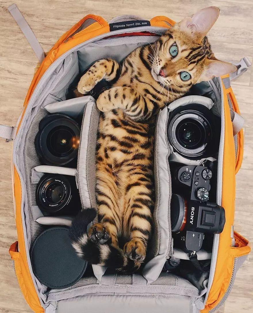 Картинки по запросу кошка сьюки