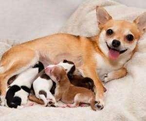 狗狗怀孕时间表,1-63天怀孕症状!(图4)