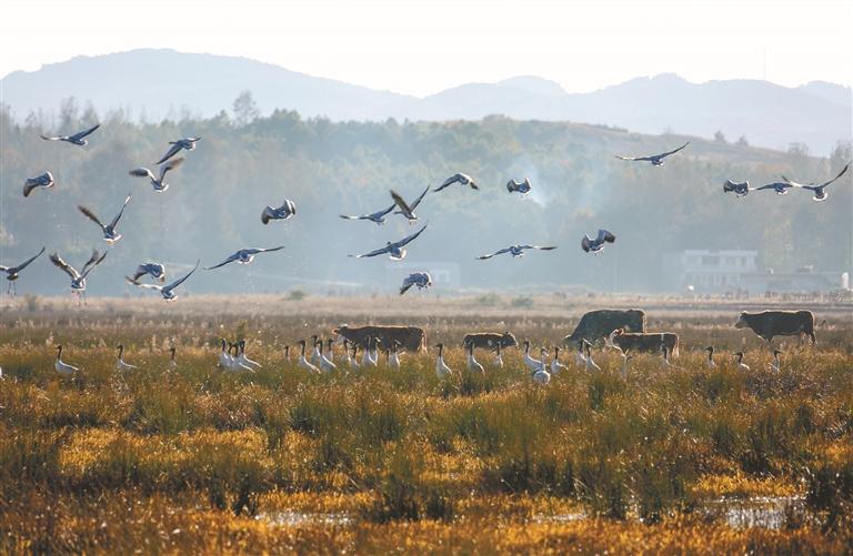 生态和谐 牛鹤共舞