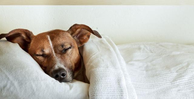狗狗睡觉要不要盖东西保暖?