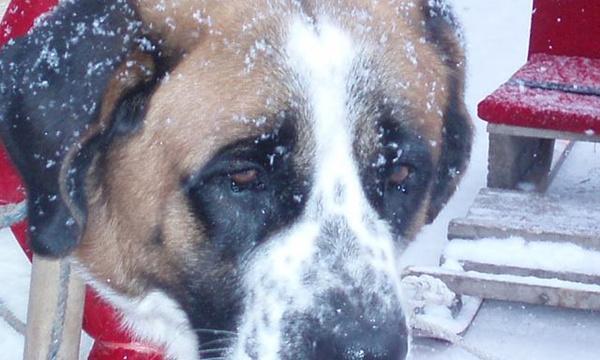 为什么有的时候狗会哭?狗狗能像人类一样流泪吗?
