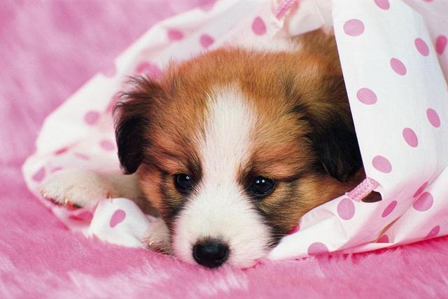 不准备给狗狗做绝育的话,应该如何预防子宫蓄脓?