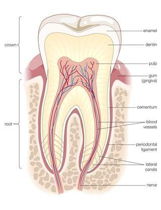 告别补牙 新研究发现多种方法可以让牙齿再生的照片 - 2
