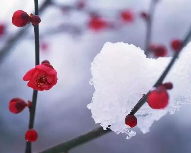 描写梅花的诗句 最经典的梅花诗
