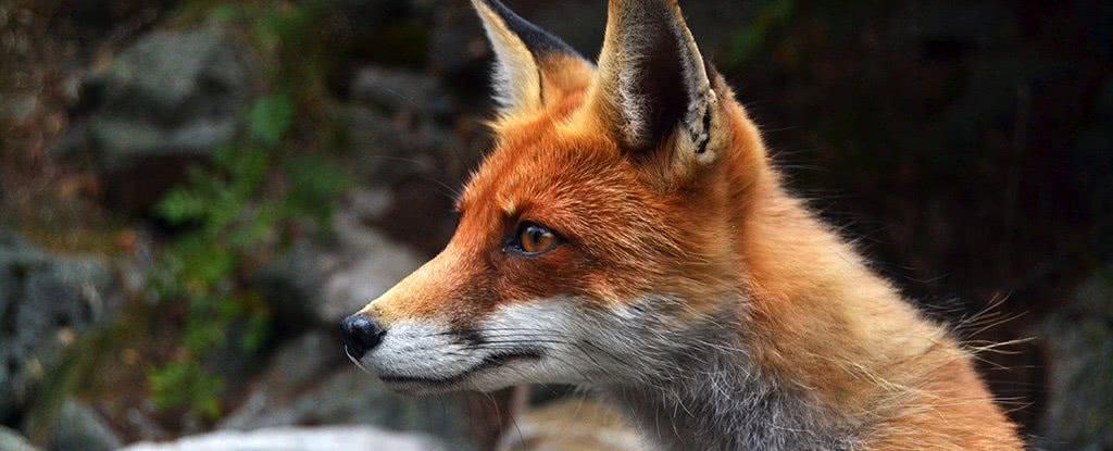 科学家从狐狸身上研究出狗狗从大灰狼变乖的原因,还有变傻的原因