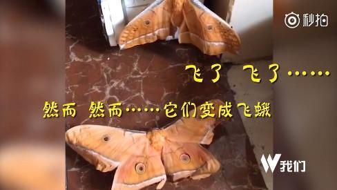 东北蚕蛹带到海南当下酒菜:竟变成蛾子飞了的照片 - 1