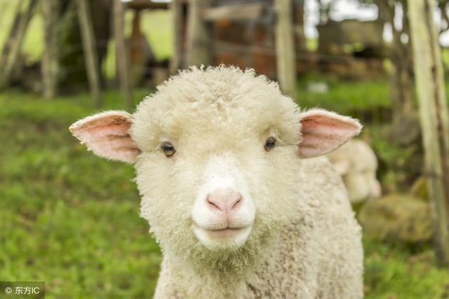 新生小羊缺初乳,脐带感染,C型肠毒血症.各种症