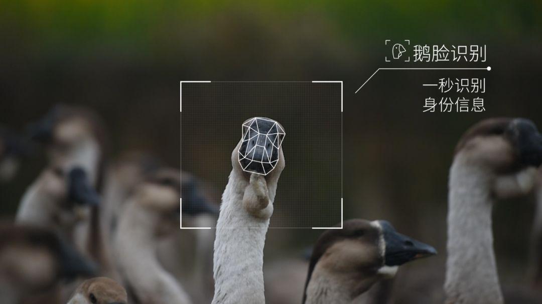 """腾讯宣布正式养鹅:正在研发""""鹅脸识别""""的照片 - 1"""